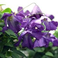 Clematis Little Bas
